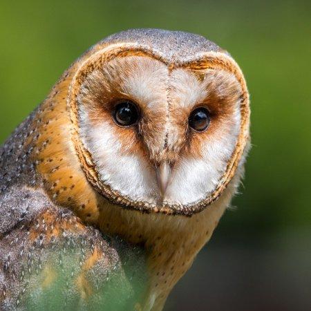 Barn owl donegal Irish Folklore