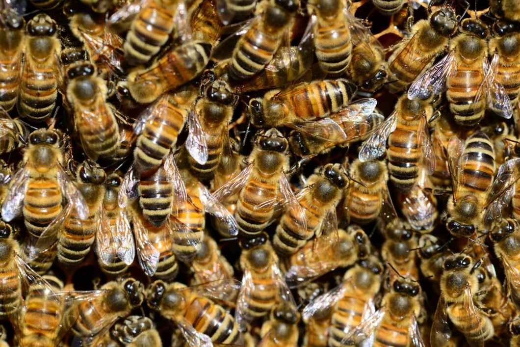 Killer bees potential Disasters