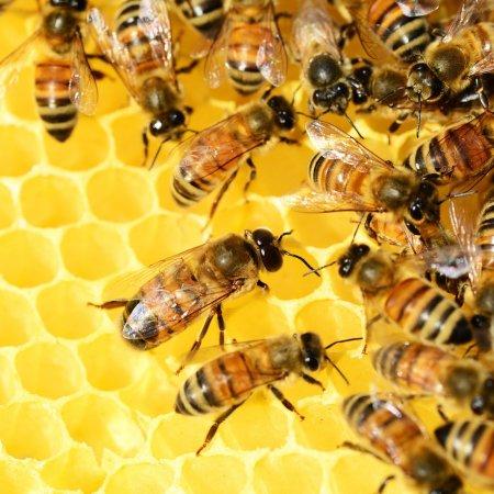 African killer bee attack