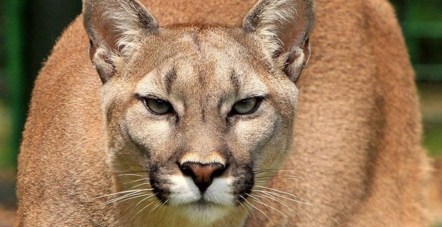 How to escape cougar attack cougars