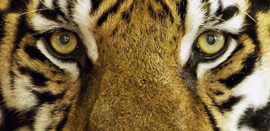India: Bengal Tiger Attack