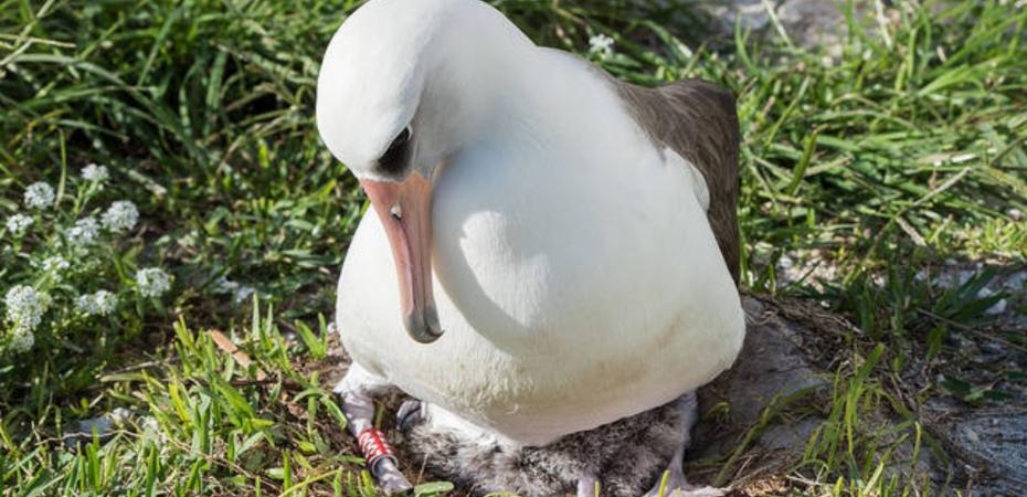 Old Laysan Albatross